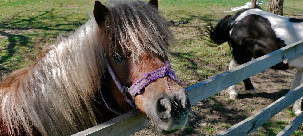 Ponys am Kinderbauernhof Zeilinger - Foto: Thomas Reicher