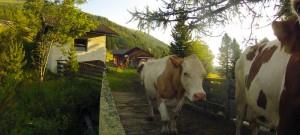 Wansing-Alm - Kühe auf der Brücke - Foto: Thomas Reicher